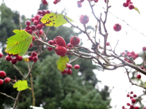 alberta_park_berries