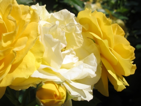 design_by_jen_yellow_roses