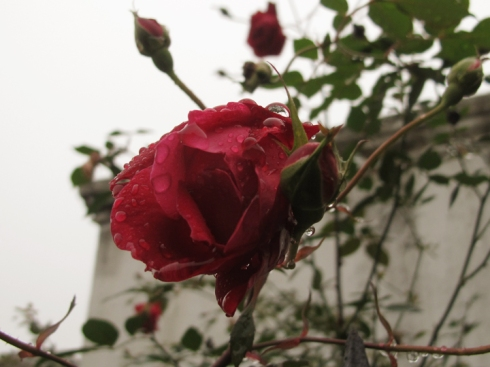Rose, St Louis 1, New Orleans