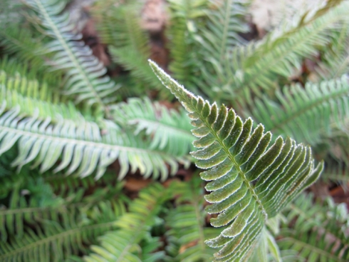 Frozen Ferns